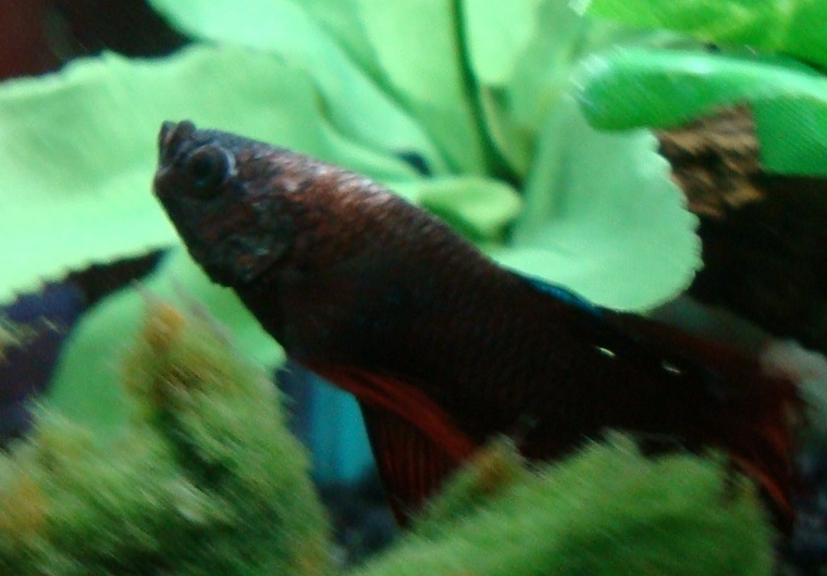 Need help to diagnose a betta page 2 flippers 39 n 39 fins for Betta fish sleeping