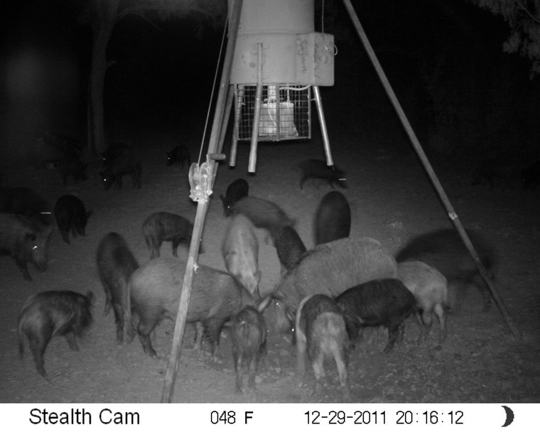 More hogs 1c226f31bb17fd53887406f9d7cb79447c0968bb