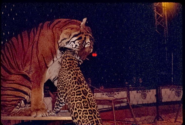 Big Cats Fight Jaguars