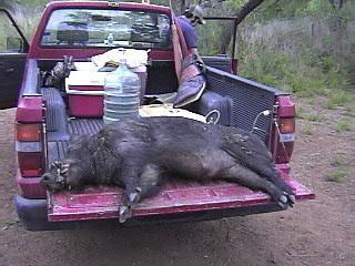 Hogs numbers down big time 4fd1681918d08041f552b27d1744058f3c03a2d1