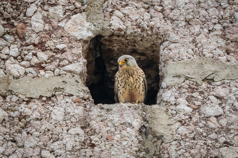 Banner Image: A hawk nesting in a steeple
