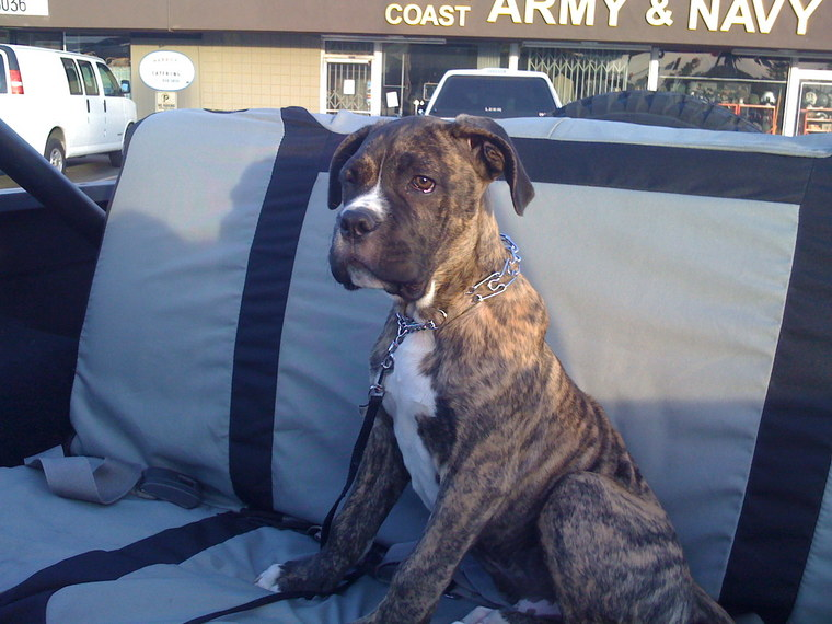 boxer mastiff mix pictures - group picture, image by tag ...