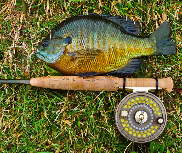 Ultralight fly fishing what is your favorite sunfish for Ultralight fly fishing