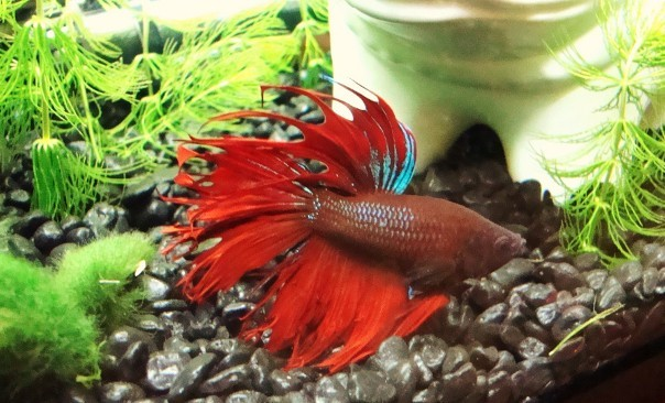 crown tail betta quotes
