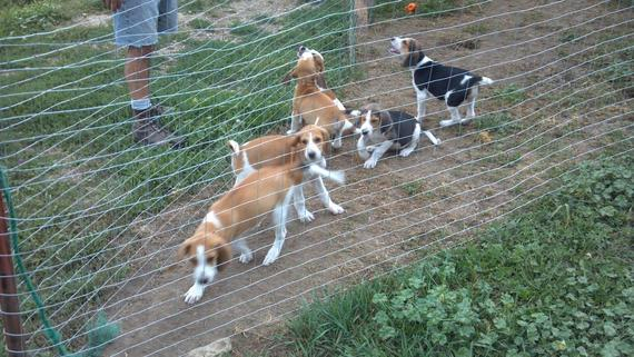 Running Walker Coyote Hounds for Sale