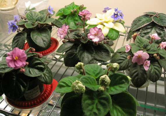 mixed group of African violets