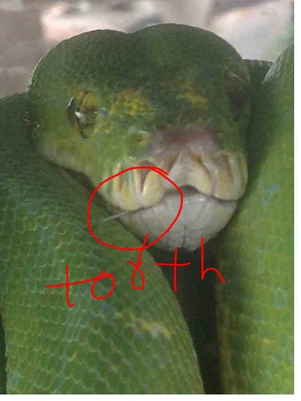 Green Tree Python Teeth