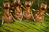 Jack Ant