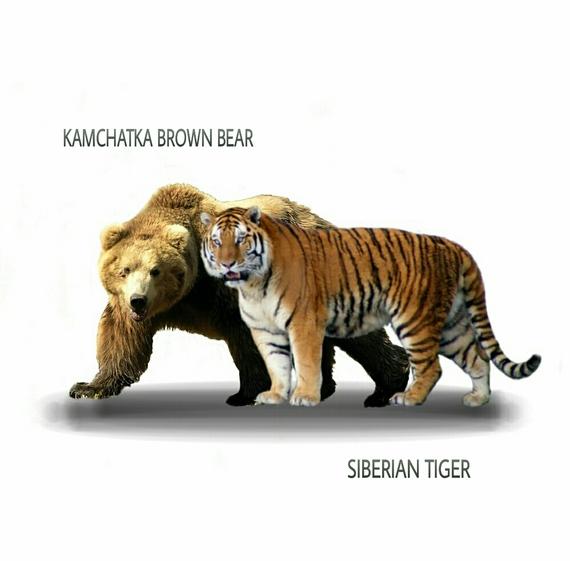 Ngandong Tiger Vs American Lion