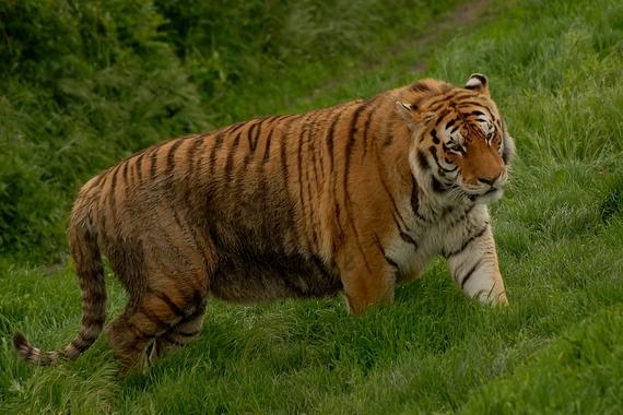 Liger And Tiger Size Comparison