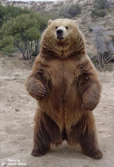 Fox Basin polar bear vs Katmai grizzly ~ in Animal vs Animal Forum