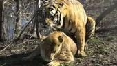 lionbangstiger