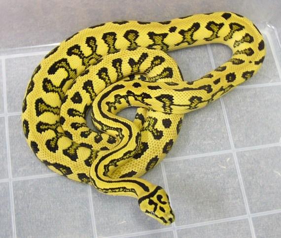 Jungle Jaguar Carpet Python Carpet