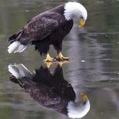 Big Valley Eagle