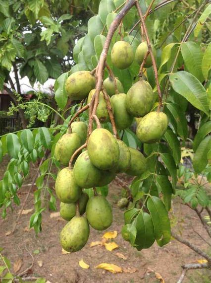 sugar content in fruit tropical fruit forum