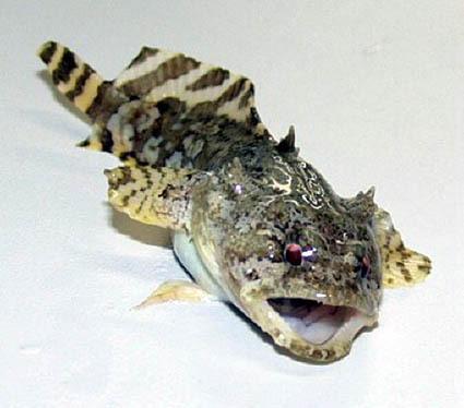 dogfish shark skeleton | tauigess