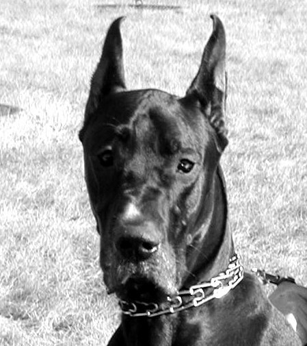 Which Ear Crop Shape Stands The Fastest All About Great Danes