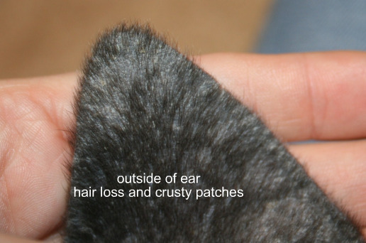 scaly patches on ears all about great danes discussion forum