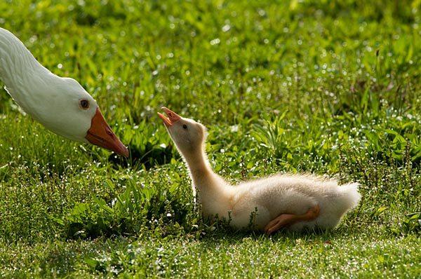 Snow Goose Baby